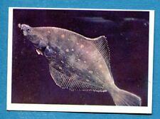 Figurina Panini-ANIMALI DI TUTTO IL MONDO 1965-n.263 - SOGLIOLA -rec