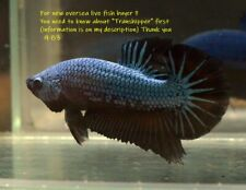 New listing LIVE Betta fish  Steel black dragon Hmpk Male 983.Charmingbetta From Thailand.