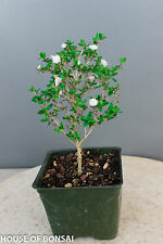 "Chinese Flowering 'Snow Rose' Serissa Pre-Bonsai Tree - 4"" Pot"