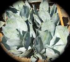 Agave Colorata Mescal Ceniza Hardened Succulent Not Cactus