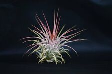 Air Plant - Ionantha Tillandsia Holiday Decor Gift Easy to Care Mature