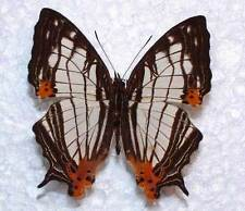 CYRESTIS MAENALIS IRMAE - unmounted butterfly