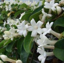 STEPHANOTIS FLORIBUNDAS (Madagascan Jasmine) 10 Fresh 2018 Seeds, FREE POSTAGE