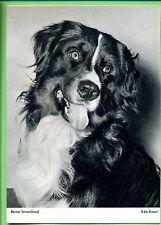 AK-- Flechsig Bildkarte --SW --Berner Sennenhund --