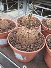 Caudex Dioscorea Elephantipes var Montana potsize 15 cm.
