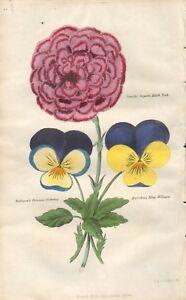 1835 ANTIQUE H/COL BOTANICAL PRINT- ROLLINSON'S PRINCESS VICTORIA, SMITH'S SUPER