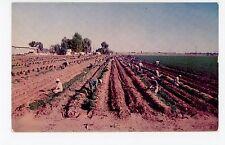 "Carrot Harvest ""Rich Imperial Valley"" El Centro CA Vintage Chrome PC 1954"