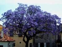 400 Samen Paulownia fortunei, Blauglockenbaum Fast Blue