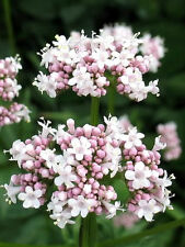 250 Valerian Garden Heliotrope Heal All Herb Flower Seeds