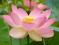 Wasserpflanze die i! LOTUS-Blume !i exotische Blütenpflanze - Gartenteich.