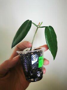 Hoya  macgillivrayirare   rooted house plant