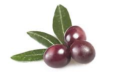 Taggiasca Italian Olea Europaea Olive Tree Seeds 5 PCS RARE VARIETY!
