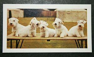 Sealyham Terriers   Vintage Colour Photo Card  ##  Excellent Condition