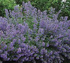 Catmint Herb - Flower Seeds - Garden Seeds - Bulk
