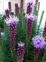 Prachtscharte  50 Samen Liatris Spicata   wunderschöne Staude!!!