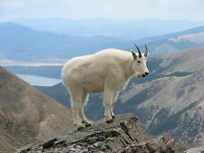 MOUNTAIN GOAT 8X10 GLOSSY PHOTO PICTURE