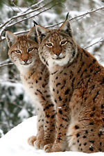 Snow Lynx Poster A3 Photo Picture Print 16x11 snow Scene Leopard Large print NEW