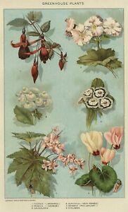 Victorian Greenhouse Houseplants: Authentic 1902 (Dated) Botanical Stone Chromo.