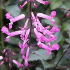 DARK PINK CAPE ANGELS Plectranthus long-flowering plant in 140mm pot