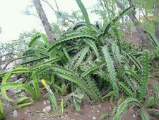 Acanthocereus tetragonus Barbed Wire Cactus TWO 8