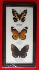 3 REAL BUTTERFLIES BUTTERFLY TAXIDERMY INSECT PICTURE FRAME TIGER CROW LIME