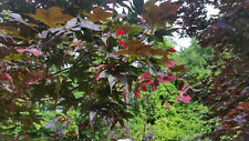 8 oz of Acer palmatum atropurpureum seeds picked from 'Bloodgood' maple trees