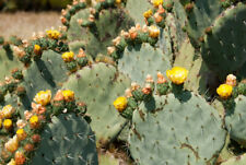 Opuntia robusta Giant Prickly Pear Cactus Seeds
