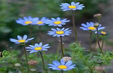 Blue Daisy 250 Seeds Beautiful Small Blue With Yellow Centered Colored Flowers