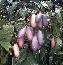 Safu Dacryodes edulis Afrikanische Pflaume Safou Pflanze 40cm Canarium sapho