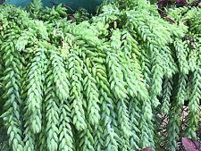 "4 x fresh cutting Sedum morganianum ""Donkey Tail"""