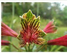 Alstroemeria P. Flower Hummingbird Peruvian Parrot Lily Plant 10 tubers