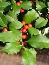 1 GALLON SIZE STARTER  American Holly Tree (1)Seedling Transplant ITEM#GLD