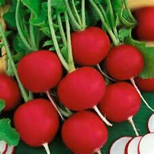 EARLY SCARLET GLOBE RADISH! GREAT TASTE! READY IN 22 DAYS! 100 SEEDS! COMB. S/H!