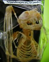 Real Lesser Short-nosed Fruit Bat Cynopterus brachyotis Skeleton FAST FROM USA