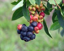 Blueberry - 'Summer Sunset' - Vaccinium (Rabbiteye)