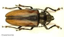 Rhaphipodus blumei - female, nice, prioninae