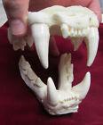 Cougar mountain lion jaws teeth cast taxidermy plastic replica