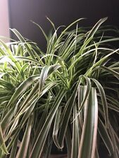 6 Reverse ~ Spider Plant Babies Hanging Baskets/Pot Clean Inside Air