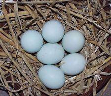 6 CRESTED CREAM LEGBAR HATCHING EGGS(believed fertile)(Blue eggs)