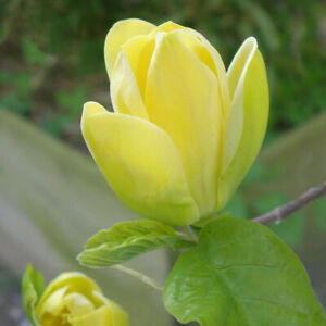 Magnolia x brooklynensis Yellow Bird-Magnolia Plant in 1 L pot