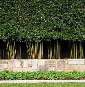 100+ Fresh Weavers Bamboo Seeds with instructions - Bambusa Textilis