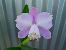 Cattleya loddigesii aquinii 'Alvaro Pereira' x self orchid plant Rare In Bloom!