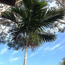 Solitaire Palm Seeds Ptychosperma Elegans Qty 100 June 2016