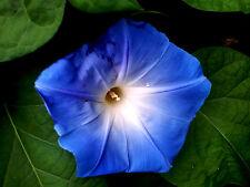 himmelblaueTrichterwinde,Ipomoea indica,  Blüten,Ampelpflanze, Balkon,Blumenzaun