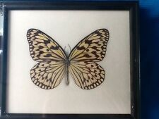 IDEA LEUCONOE REAL FRAMED TREE NYMPH PAPER KITE BUTTERFLY TAXIDERMY INSECT