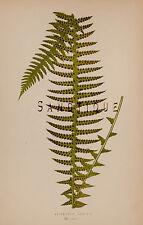 "Lowe's Ferns - ""NEPHROLEPIS UNDULATUM"" -  Volume 7 - Chromolithograph - 1856"