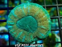 USA REEF AQUATICS - WYSIWYG AUSTRALIAN ULTRA SCOLY LIVE CORAL