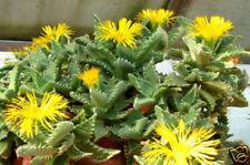 Faucaria tigrina @J@ exotic ice plant living stone rare succulent seed 100 SEEDS