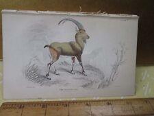 Vintage Print,European Ibex,Plate 7,Jardine,c1840