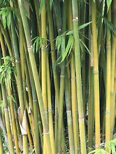 Clean Slender Weaver's 'Gracilis' Bamboo ROOT DIVISION (Bambusa textilis)